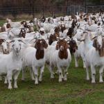 How To Start A Lucrative Goat Farming Business In Nigeria (Complete Guide + eBook)