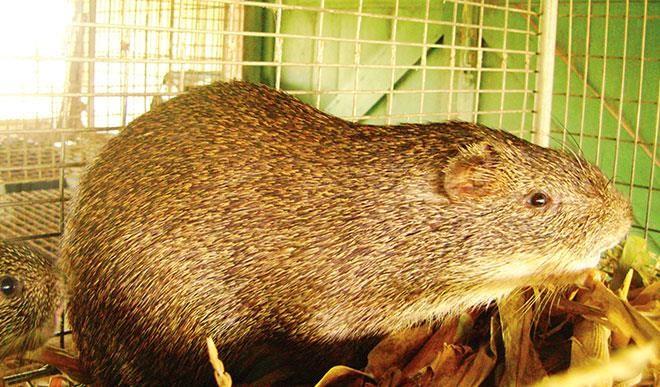 grass cutter animal nigeria