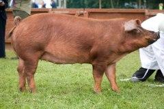 Duroc Pig