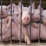How To Start A Lucrative Pig Farming Business In Nigeria (Comprehensive Guide)