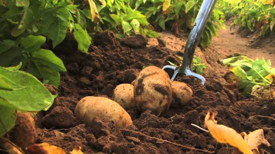 How To Start A Profitable Potato Farming Business In Nigeria