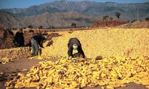 Harvesting Maize Or Corn In Nigeria Or Africa