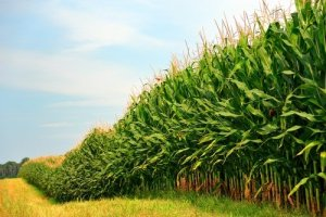 Maize Production – An Interesting Small Business Opportunity You Should Consider This Year