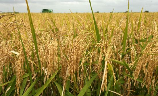 How To Start Rice Farming In Nigeria Or Africa: The Complete Guide