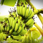 How To Start Banana Farming in Nigeria: The Complete Guide
