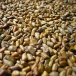 How To Start The Lucrative Export Of Cassia Tora Seed (Tafasa Weed) From Nigeria To International Buyers