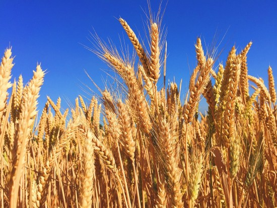 How To Start Barley Farming In Nigeria Or Africa: Complete Guide