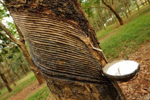 How To Start Rubber Farming in Nigeria