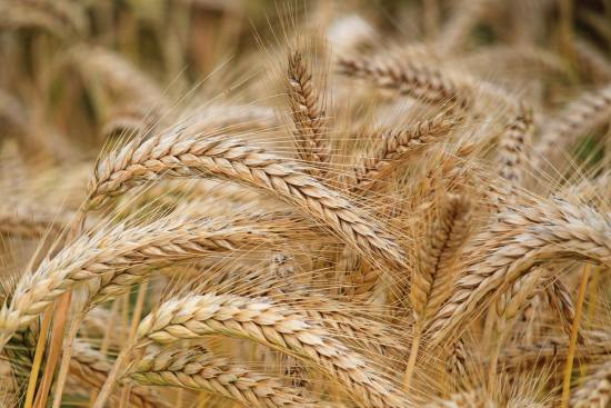 How To Start Wheat Farming In Nigeria Or Africa: The Complete Guide