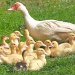 How To Start A Lucrative Duck Farming Business In Nigeria: The Complete Guide