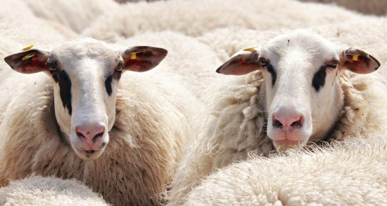 How To Start Ram/Sheep Rearing In Nigeria Or Africa: Full Guide & BPlan