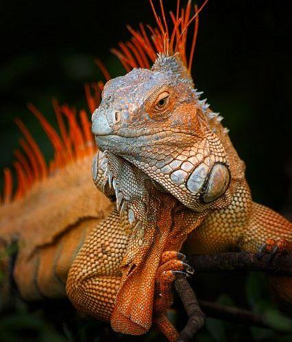 Green Iguana   by Petr Bambousek…