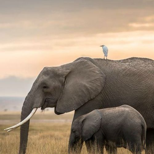 I love all elephants but African elephants are my absolute favorite. The bigger …
