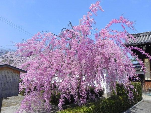 京都の桜と紅葉-妙顕寺