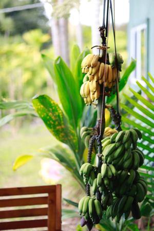 ハワイ島バナナの収穫はこうやってします。