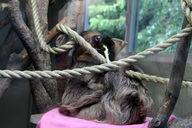 a sloth eating