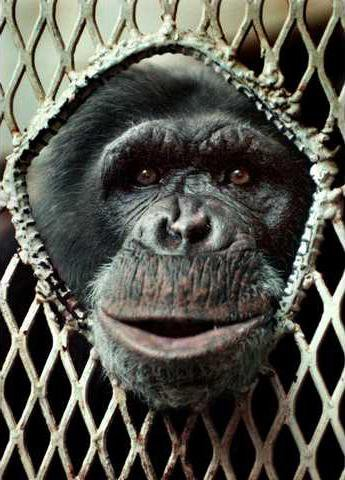 Domesticated Chimp Is Missing In California Forest Statesboro Herald