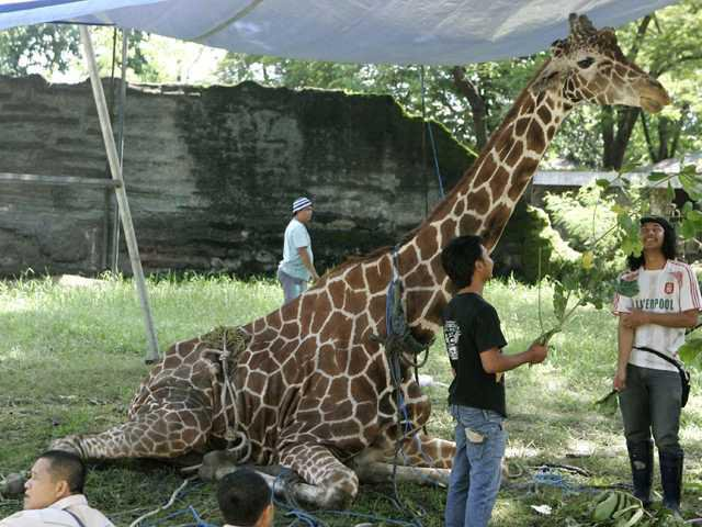 Nightmare Zoo In Indonesia Shaken By Death Of Giraffe Statesboro Herald