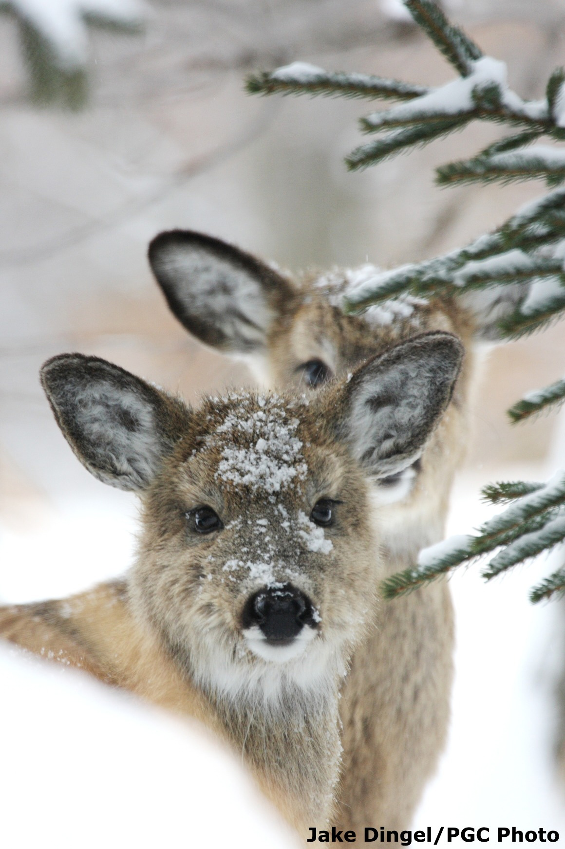 White Tailed Deer State Game Animal
