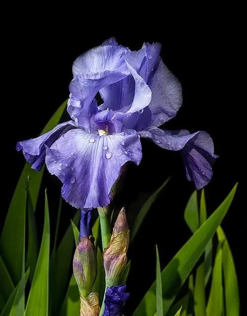 Iris Flower Colors