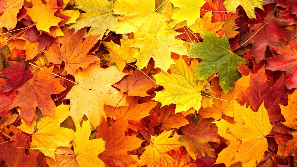 Image result for maple leaves