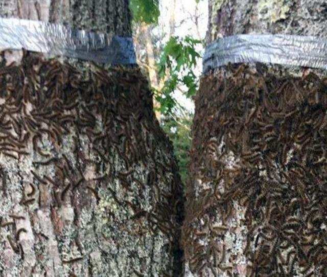 Return Of Gross Caterpillars To Maine Spurs Fears Of Infestation Wgme
