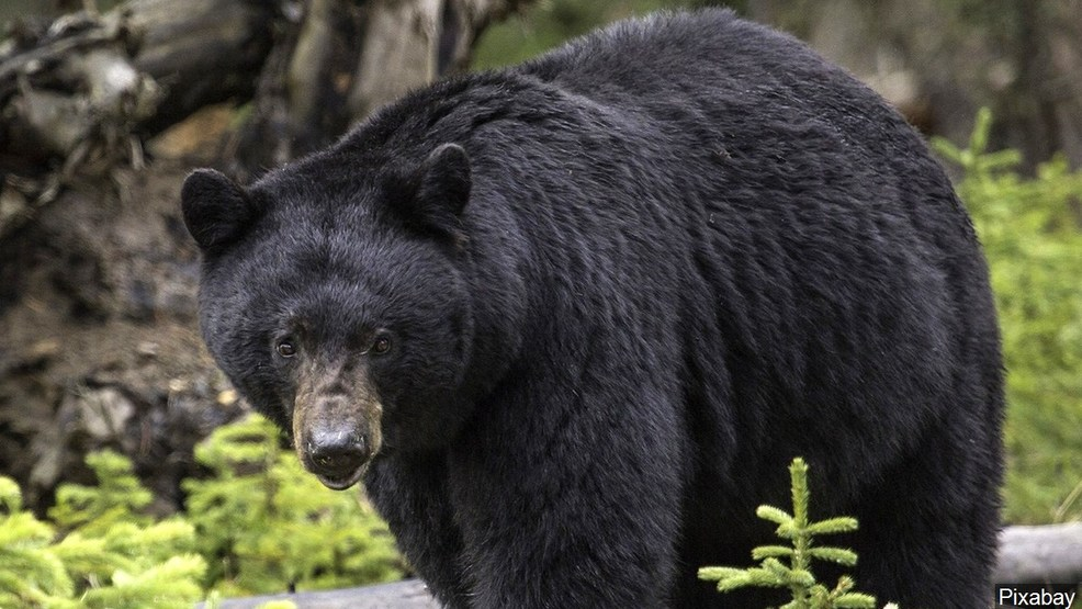 Image result for large black bear