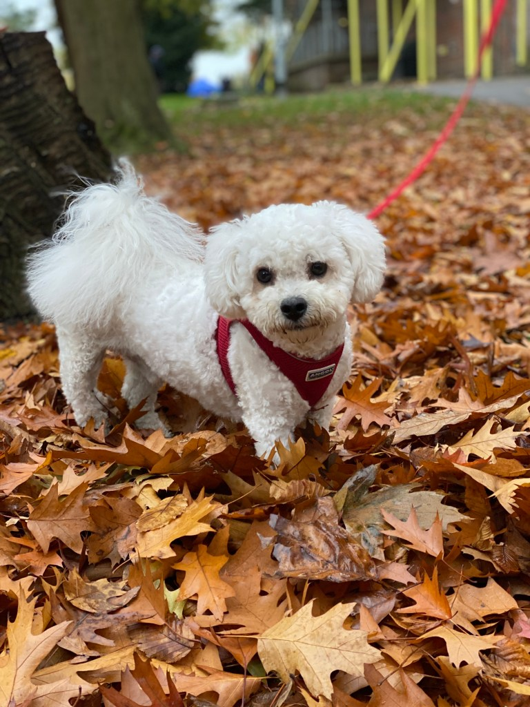 Bichon Frise in leaves