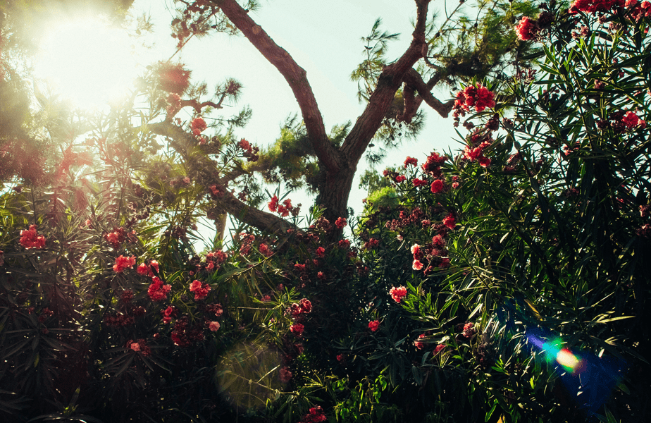 zonneschijn passeert een groene boom vol bloemen