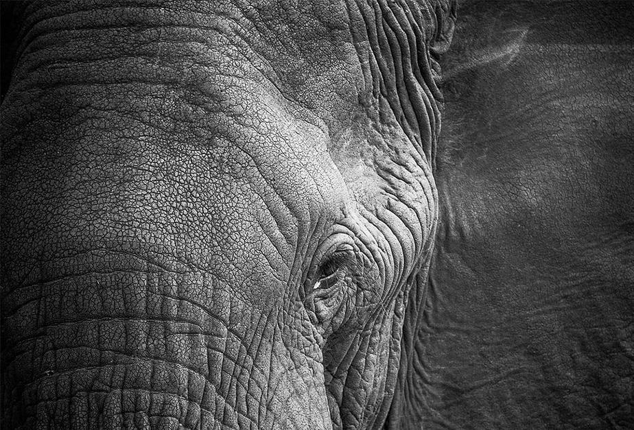 close-up afbeelding van olifant oog