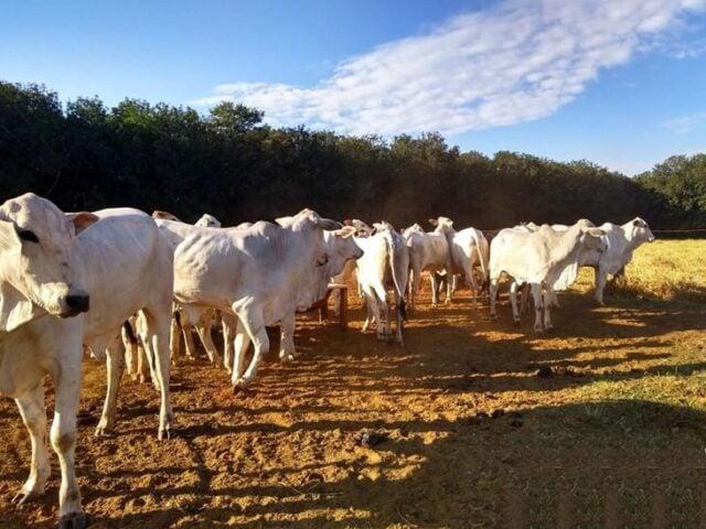 Boi, pastagem, bovinos