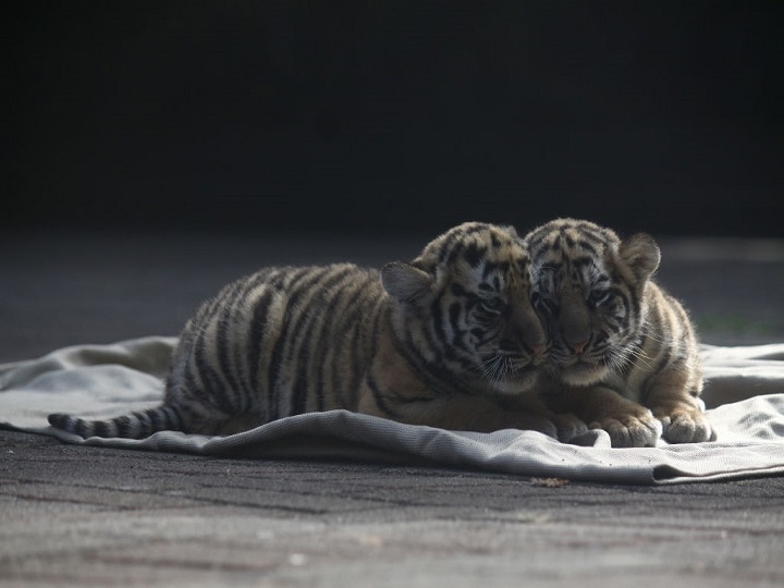 French Couple Purchased Cat But End Up With A Tiger Cub, News Went Viral