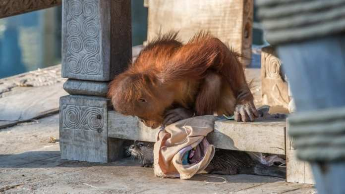 A zoo takes cute pictures of Orangutan monkeys playing with her beavers friends
