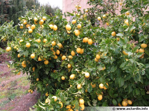 Comment Recolter Les Citrons
