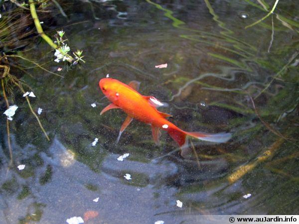 le poisson rouge un classique du bassin
