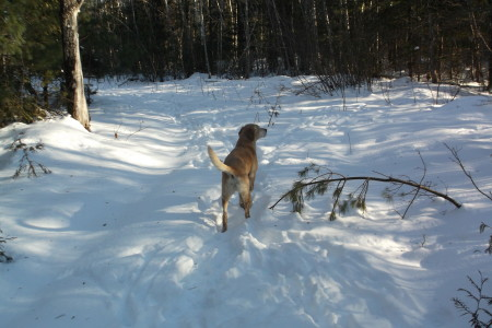 Chuck following a deer trail into the wood line