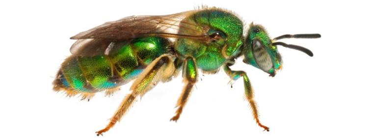 Metallic Green Bee, Augochloropsis Metallica, South Carolina