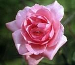 rose peau d'ane.jpg