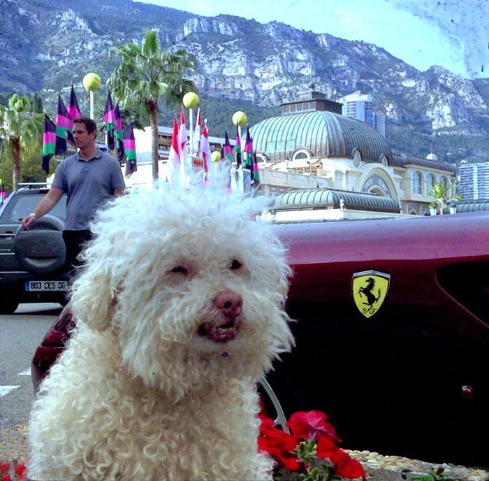 cerbero-on-the-road-cute-poodle-6
