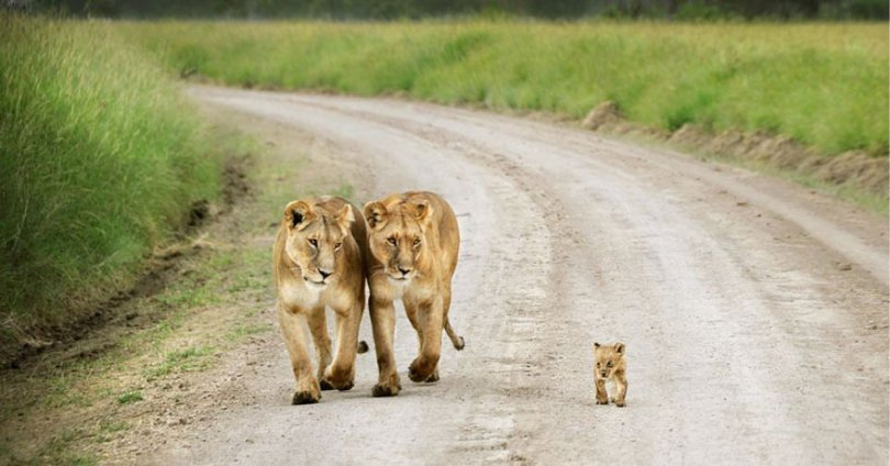 animal parents 23 - Momentos adoráveis dos pais com os filhotes no reino animal