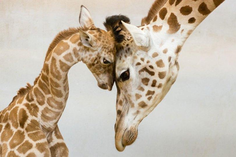 animal parents 5 - Momentos adoráveis dos pais com os filhotes no reino animal