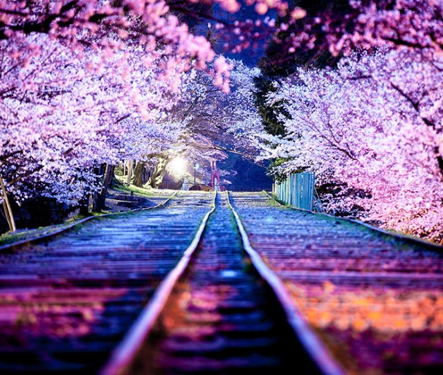 Of The Most Beautiful Japanese Cherry Blossom Photos Of  Bored Panda