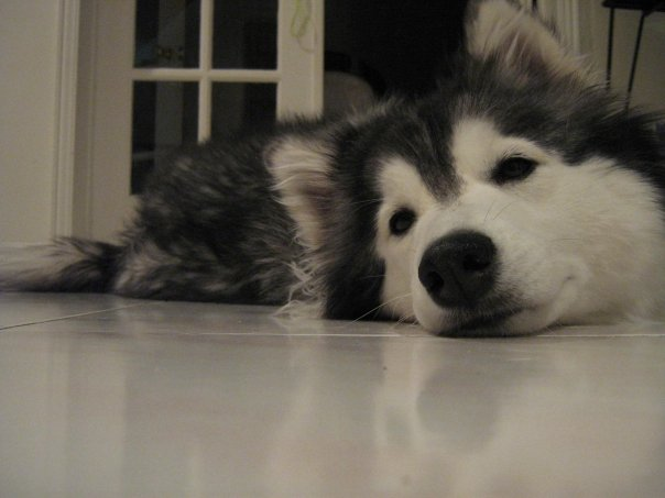 tally-husky-dog-raised-by-cats-42