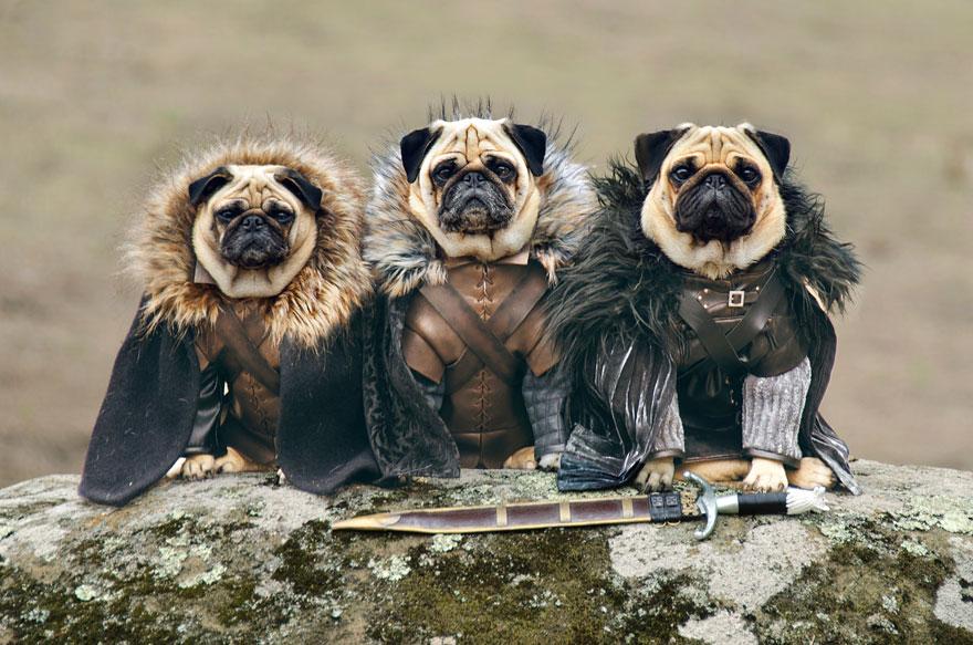 cute-pugs-game-of-thrones-pugs-of-westeros-1