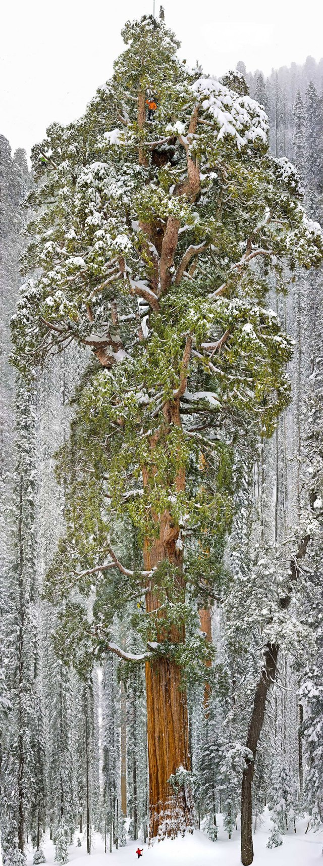 The President, Third-Largest Giant Sequoia Tree