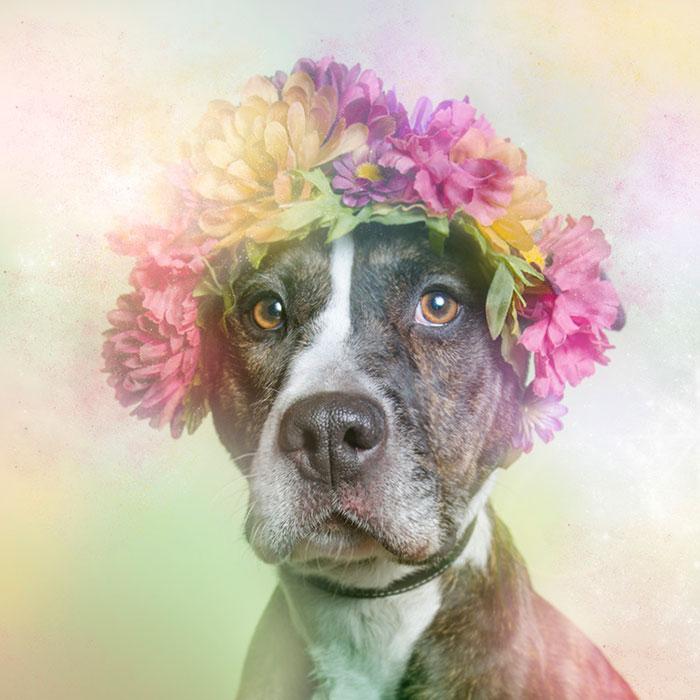 flower-power-pit-bulls-dog-adoption-photography-sophie-gamand-11
