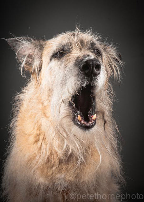 old-dog-portrait-photography-old-faithful-pete-thorne-13