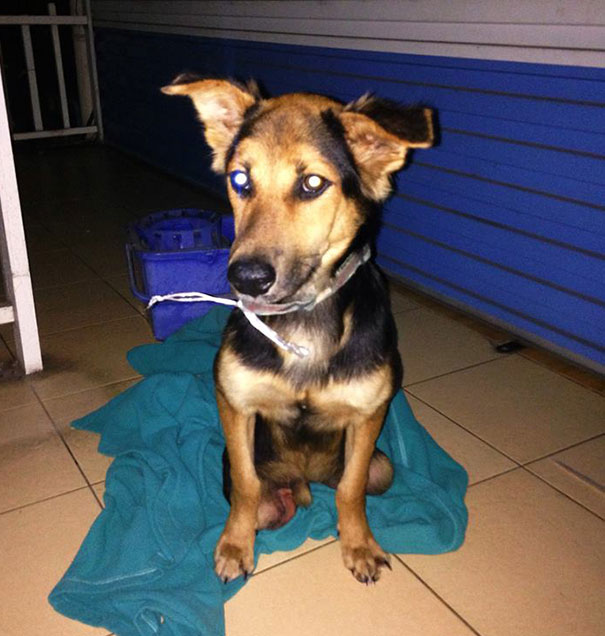 paralyzed-dog-puppy-rescue-thailand-canada-leo-3