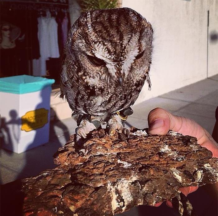 rescued-blind-owl-zeus-9