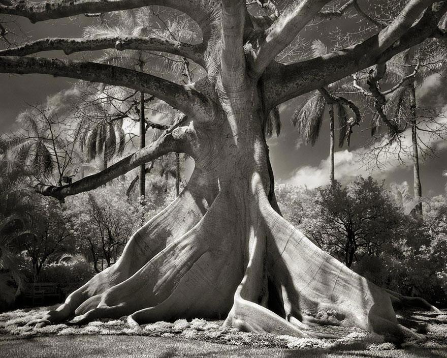 antichi alberi-Bet-moon-10